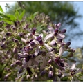 散步於東海大學校園內,即被淡淡的花香給深深吸引,其味來自校內「苦楝」花綻。