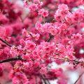 春城櫻花處處 - 6