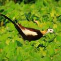 攝於2018年6月5日 嘉義荷苞嶼生態園區 水雉又稱凌波仙子 是保育類野生動物