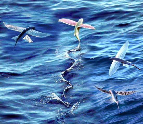 蘭嶼飛魚--自然奇觀- grace127...