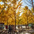 北京奥林匹克公园银杏