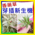 認識市場正夯的香藥草, 長期處在嗅覺的芳氛療中, 並享有豐富多樣的生活體驗。