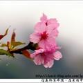 2018.1.30.樱花随著风雨飘来的美,惊艳!