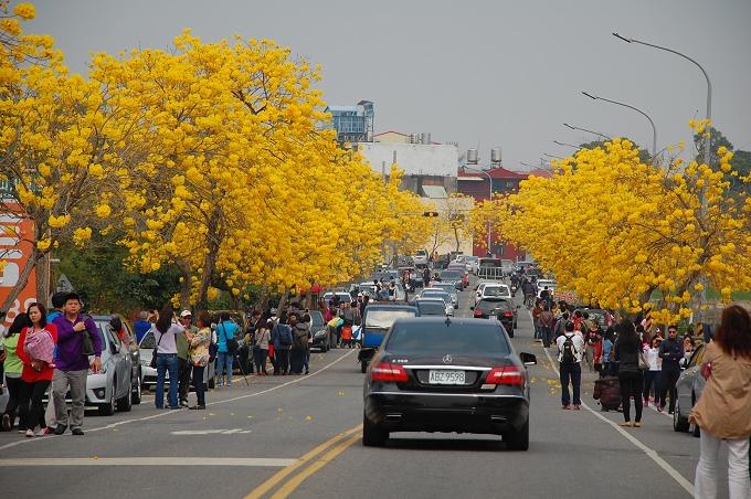 黃花風鈴木盛開