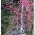 烏來除了著名的溫泉、纜車、瀑布之外,初春,妝點烏來滿山的山櫻和八重櫻處處可見,樹枝上粉櫻繽紛,美景如畫,賞心悅目。