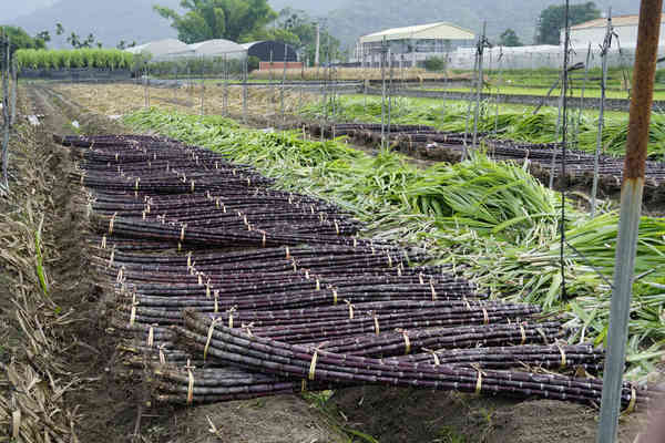 「甘蔗」的圖片搜尋結果