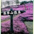 (002)北海道-藻琴山芝櫻