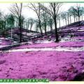 (003)北海道-藻琴山芝櫻
