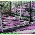 (007)北海道-藻琴山芝櫻