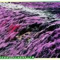 (008)北海道-藻琴山芝櫻