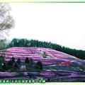 (009)北海道-藻琴山芝櫻