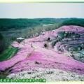 (012)北海道-藻琴山芝櫻