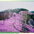 (013)北海道-藻琴山芝櫻