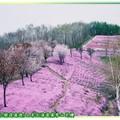 (014)北海道-藻琴山芝櫻