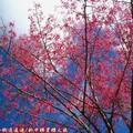 (058)新中橫-路邊停車場之山櫻花
