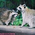 (312)台北市立動物園-北美浣熊