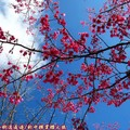 (060)新中橫-路邊停車場之山櫻花