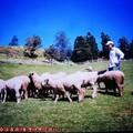 (086)南投清境农场-绵羊