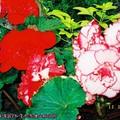 (003)加拿大維多利亞-布查花園之海棠