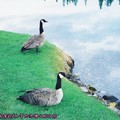 (005)加拿大洛磯山脈-傑士伯國家公園之加拿大雁