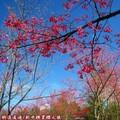 (066)新中橫-路邊停車場之山櫻花