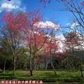 (068)新中橫-路邊停車場之山櫻花