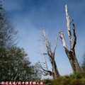 (069)新中橫-夫妻樹