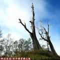 (072)新中橫-夫妻樹