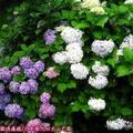 (087)鹿儿岛-仙岩园之绣球花