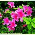 (063)金瓜石-豔紫杜鵑