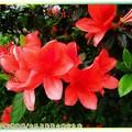 (064)金瓜石-大紅杜鵑