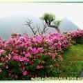 (065)金瓜石-豔紫杜鵑與基隆山