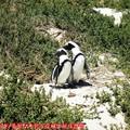 (001)南非開普敦-企鵝生態保護區之黑腳企鵝