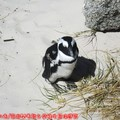 (006)南非開普敦-企鵝生態保護區之黑腳企鵝