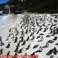 (008)南非開普敦-企鵝生態保護區之黑腳企鵝