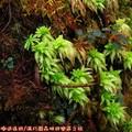 (103)太平山-翠峰湖環山步道之奧陶紀苔原區泥炭苔蘚