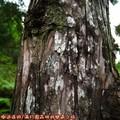(104)太平山-翠峰湖環山步道之樹木附著地衣