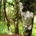 (106)太平山-翠峰湖環山步道之樹木附著地衣