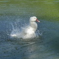 大白鴨洗浴的美姿