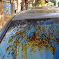 奔放的黃花風鈴木