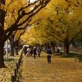 神宫外苑银杏
