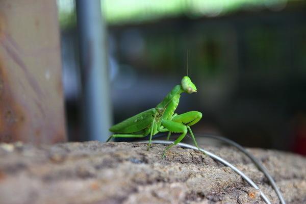 """巧遇這隻寬腹螳螂,接下來的柿染體驗,""""螳哥""""他已經幫我選好了圖案。"""