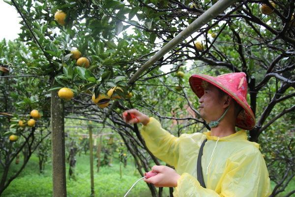 怎麼會有一個長得很像韓國明星姜至奐的男子在果園中採柑桔啊?!