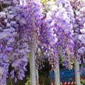 紫色浪漫浪漫紫藤