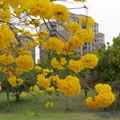粉紅與黃花風鈴木