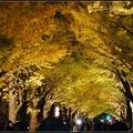北海道大學夜賞銀杏