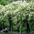 2018/04/21 拍攝 如同佐藤春夫在小說「田園的憂鬱」又名(病了的薔薇)呈現喧嚷都會中寧靜祥和田野,散發出的「隱士文學」氣息。