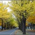 北海道大學銀杏與紅葉