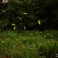 东势林场之萤火虫