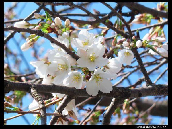 3月17日,稀稀疏疏開了幾朵,整棵樹仍很『青澀』